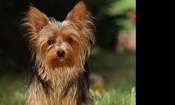 Black and Tan female Yorkie, 41/2 lbs!! Very small and very sweet!! She loves you so much, very smart, potty trained, papered, beautiful and I can't even tell you enough how sweet she is!! She is a year old. Mimi, is great around all others pets,