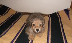 Yorkiepom Tiny tan male puppy. should not weigh more then 5-6 pounds full grown. Very sweet outgoing puppy. Raised with children and cats. Will make great family dog. $300.00 Cash only. CALL 561-996-4827 Serious phone call inquires only please.