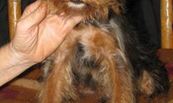 1 male yorkiepoo. 5 months old. Very sweet boy. Black and tan. No shipping. Please call for more info. $150. 803-222-2131.