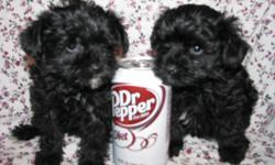 This sweet puppy was born on 4/28/11. Mom is a 5LB AKC Toy Poodle Dad is a 5LB AKC York Shire Terrier.Both parents have champion lines. Pup is up to date on shots and worming. Pup is hypoallergenic. Pups tail and dewclaws are removed to breed specifics.