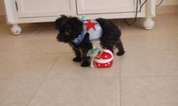 We have one male and onefemale Yorkiepoo puppy.They will be about6-8 lbs when full grown.The puppiesare current on their vaccinations and has been vet checked. Yorkiepoo's are a wonderful family pet; playful,