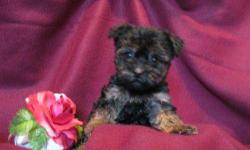 1 Female Yorkiepoo (Yorkie/Toy Poodle) born on 7-9-11. UTD on shots and comes with a health warranty. *?* Credit Cards Accepted (Visa/MasterCard??????) ** No Credit Check Financing Available (Please Inquire) ** Shipping Available For More Info Call/Text: