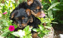CKC small yorkies puppies born 3/14/11, 1 male -$600 and 1 female - $700, puppies are from our family pets ,the father is only 3 1/2 lbs, and mother 4 lbs. are up to date on shot/worming and will give 2nd and 3rd shots for you if requested, at no extra