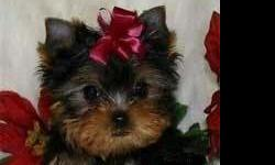 Yorkies, Yorkies,Yorkies. AKC Males and Females (((To Die For Cute))) Both parents on site .if you can't live another day without one of these adorable tiny babies PLEASE call to set and appointment !!PLEASE NO E-MAILS Call 815 629 9590 They will come