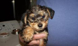I have 2 Females left 500.00 each They are purebred Yorkies, will be about 5 -6 pounds grown.Tails and dews done, Vet Check ,1st shots given,,, puppy packs.. Born 12/3/10 . ready now. Sold as pets only no papers ... Call for more info. 561-924-3565 ,,, If