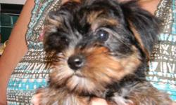 Several registered Yorkies available with prices starting at $350. Shorkie $300. Cavachon & Bich Poo $200. Other breeds also. Reasonable priced delivery possible soon.