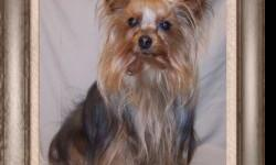 AKC Male 4.7lb Yorkie, 2 years old, not spayed looking for a new forever home. Great family pet. Good with other animals and loves children. Call for more info.