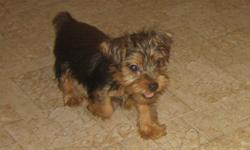 These baby boys are Vet checked, dewormed, had 2nd shots and are health guaranteed. Reduced price to find their forever homes even faster. This is a one time only deal so don't miss out. This is my last litter of Yorkies. The mom and dad will be spayed
