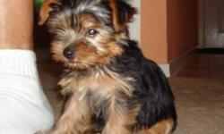Small Yorkshire terrier 9 wks old. She has first shots, wormed, dew claws removed and tail docked. She will be 5-7lbs fully grown. Goes outside to potty. Sits on command. Very playful and she will guarantee to put a smile on your face. ACA/AKC registered.