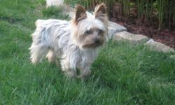 I have a beautiful yorkie male for stud. his pups are gorgeous i can provide pictures serious inquires only please. he is 4 pounds, very lovable, get along great with other dogs i have bred him with yorkies and malteses. he does not have papers. He is up