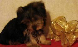 Yorkshire Terrier Puppies have females. Born on 9/28/12.$350 or $300 as pet only without APR registration, have had current shots and preventative care, dewclaws removed and tails docked. Health guaranteed. APR Registered. Sweet, Lovable,