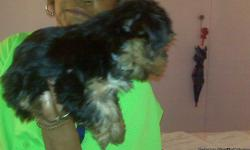 Pure bred male and female full size yorkshire terrier puppies. These are NOT teacup or toy yorkies!! They have their papers as well as their first set of shots. They were born August 4, 2010.