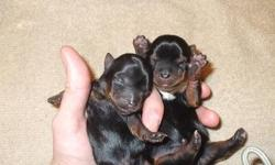 2 Teacup yorkie puppies. One male, one female. Ckc registered. Mother weighs 3lbs. Taking deposits now. Will be ready 12/23/12. Please call -- or --.