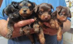 Yorkshire Terrier Puppies AKC Shots UTD Females $350.00 Each Born 7/23/12  Tails Docked & Dew Claws Removed. --