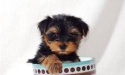 AKC Certified Yorky pupps for sale. Show Bloodline. Tiney and Beautiful! Call --