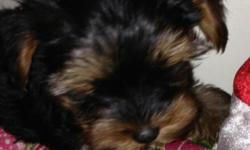 10 week old Yorkshire Terriers, 2 male, 1 female. With Akc papers and shots. Call Kelly at --