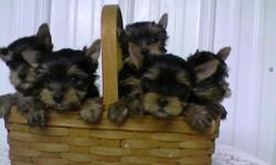 Champion Sired AKC Yorkshire Terrier Pups. Limited registration. Cute, baby doll faces, silky coats. Father is the Duerer line. Near Reading, Pa. Breeding for over 30 years. Will e-mail pcitures. Website: www.veracruzyorkies.com Vet checked, shots, etc.