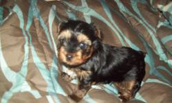 HAVE 2 ADORABLE MALE YORKIE PUPS, 6 WEEKS OLD, 4-7 LB. RANGE...BLACK AND GOLD IN COLOR...HAVE PUPPY SHOTS, MOM AND DAD ON PREMISES, CALL - OR -, LEAVE MSG. PLEASE