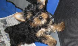 I have a litter of alomost 11 wks old yorkie pups. Both parents are AKC mom is 6 lbs standard color blue/gold dad is 3 lbs and the rare golden red color. One male pup is golden red his adult sz will be around 6 lbs . he is priced at 550. next is his