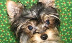 Puppies sell quickly please check website for availability before calling. We are strictly a hands-on owner/breeder of AKC Yorkshire Terrier & Shih Tzu Puppies. That will be evident in the way our dogs interact with people. All puppies are sold with