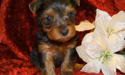 We have three litters of Yorkshire Terriers. Parents are on site and also on my personal website www.loyalpups.net with lots of pic of each litter . These babies will be up to date on vaccination/worming , tails docket, dew claws removed and puppy care