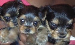 I HAVE TWO MALE AND ONE FEMALE YORKIES. THEY ARE EIGHT WEEKS OLD AND READY FOR A NEW HOME. PLEASE CONTACT ME : 5617762000 THANKS