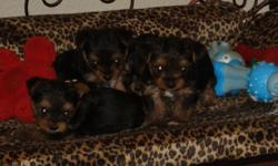8 week old ACA registered puppies ready to go. 1 female, 2 males.