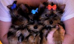 WE HAVE A BEAUTIFUL NEW TINY LITTER OF PUPS, TWO GIRLS ONE TINY BOY BORN 3/1/11 CONTRACT/SHOTS/HEALTH CERTIF/AWESOME BEST BREEDER IN THE BAY AREA COLLIER RANCH YORKIES 408-830-4681 no breeders/no scammers/we are local and never ever ship our babies. Thank