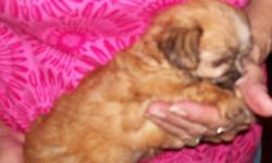 I have 2 males and 2 females , born 6-3 & 6-8...small yorky mamas and a 4 1/2 # poodle papa...a tiny black boy and a tiny brown guy and the red one is a girl and the one marked like a yorky is a girl ...I want 3oo for the boys and 400 for the girls