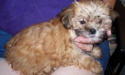 these 2 babies are tiny , one boy and one girl , 12 weeks old , about 2 # now ..the mother is a red yorky and the father is a silver grey toy poodle , both very small , so if you are looking for tiny , look no further , the girl is red, and the boy is