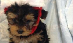 Yorkshire terrier puppies- Full bread, ACA approved and come with health guaranteed. 7 weeks old and starting house training, but are doing very well. They are raised in my home with other dogs and children so do well with both. Very loving. 3-female $900