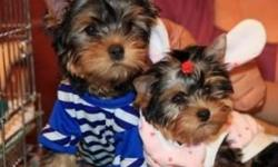 Home raised Yorkie puppies. Super adorable!with papers. 1 boys and 2 girls available. Very healthy, active and loving. Potty trained. tail docked. first set of shots and dewormed. Perfect little bodies. Boy $?. Girl $?. Hurry up to make an appointment to