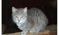 Young male Manx cat. Very personable and excellent hunter. Located in Butler, PA.