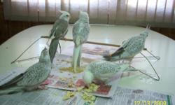 Almost year old White Faced Cockatiels. Some are super loving, others could use some more attention. Some have pearling, others are pied. Asking $100. each. Contact Sherry at 402-289-2009 Pictures are not of the birds offered...this is a previous clutch.
