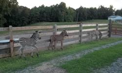 Baby Zebras for sale. Mother raised gentle and loving. Learning to tie, lead and load in trailer. E-mail for more information at thewardsfarm@wildblue.net